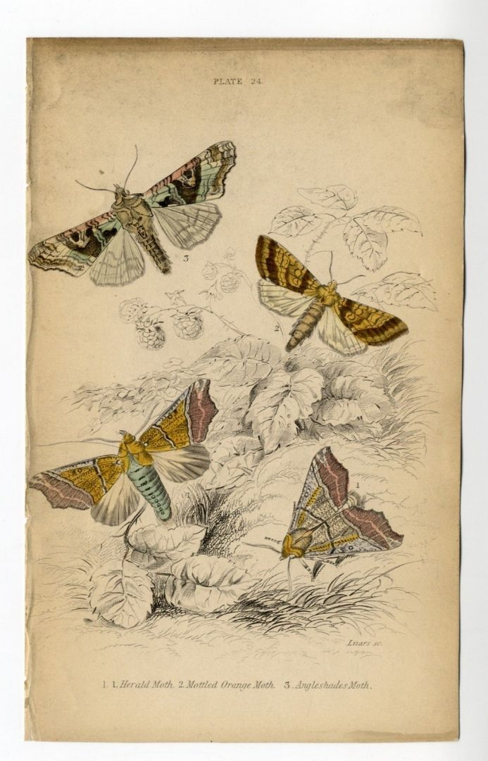 1836 MOTHS JARDINES Antique Print HERALD Mottled Orange ANGELSHADES Engraved by William Lizars HAND COLOUR
